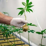 Directions On How To Clone Your Cannabis Plants