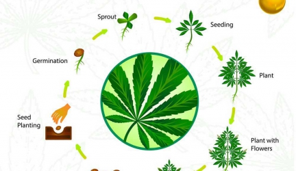 How to Grow Weed – Beginners Guide 2019